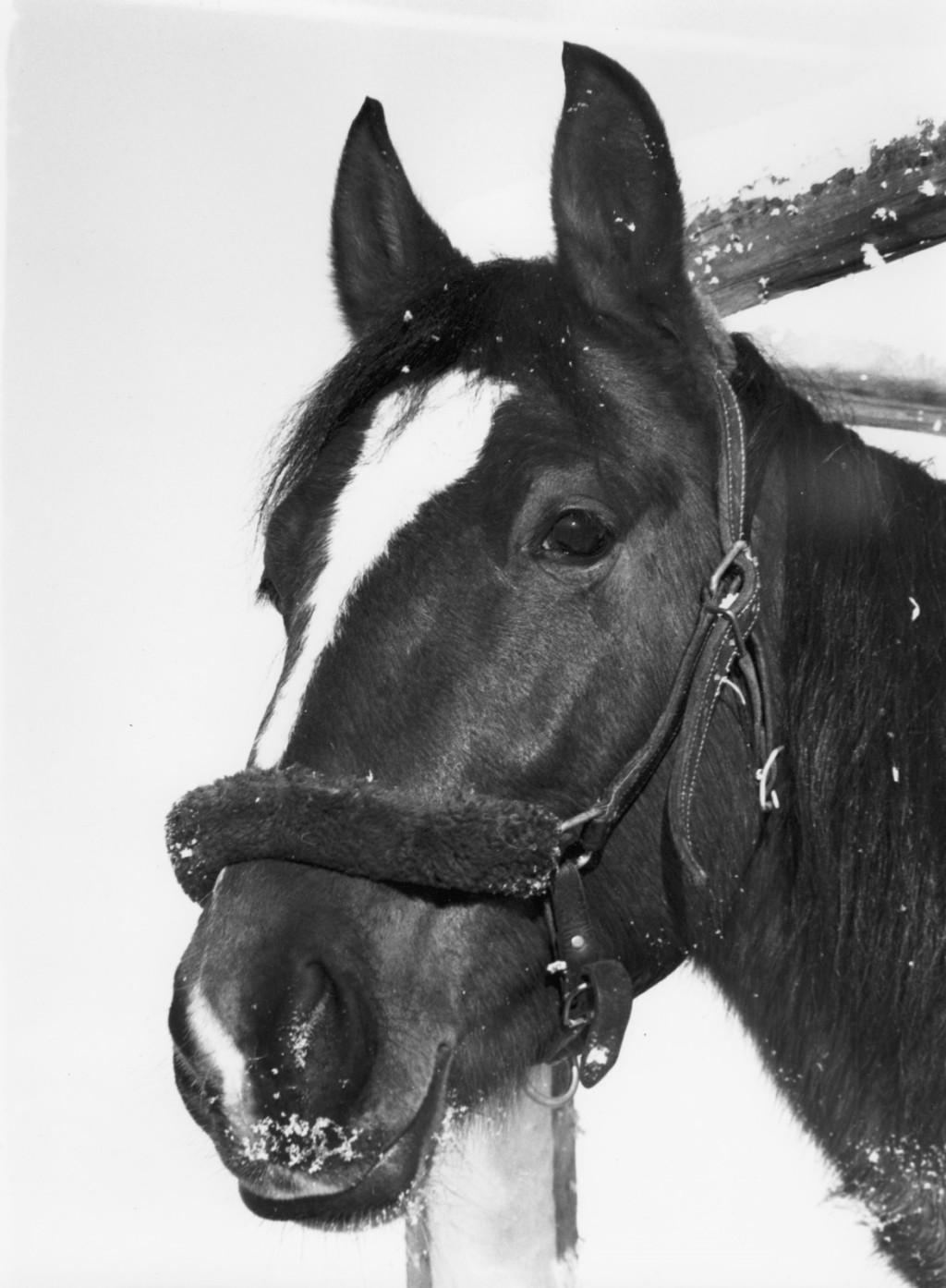 Min första häst Lonius. Amerikansk varmblodstravare f. 71