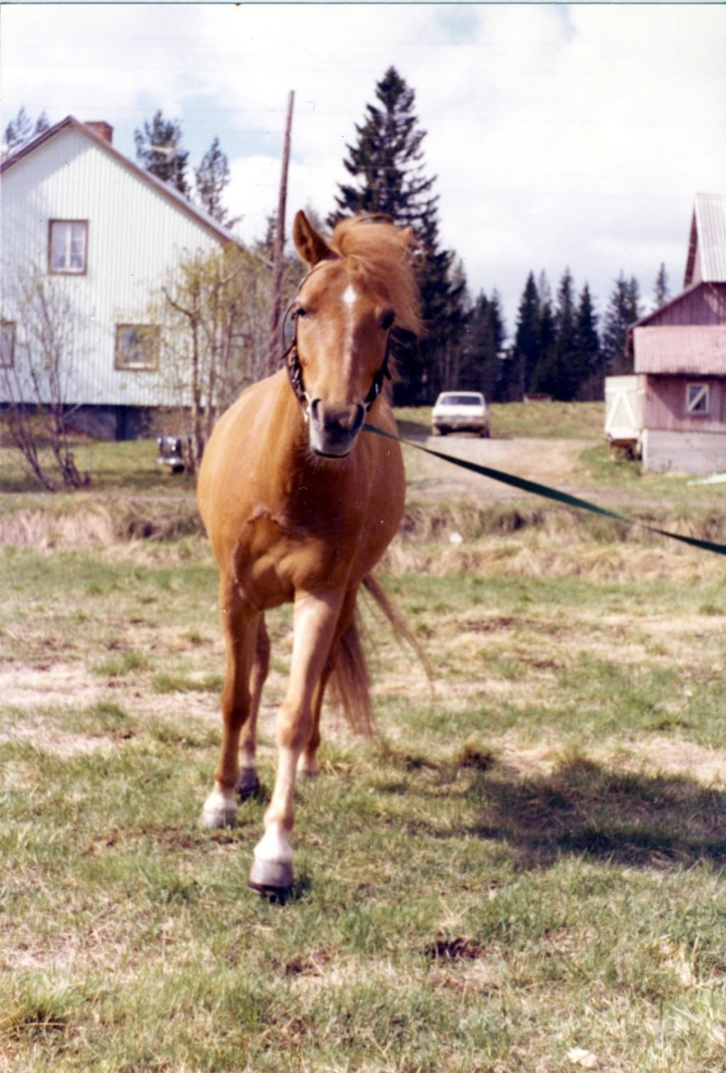 Nicke. Gotlandsruss. Långvattnet våren 1977